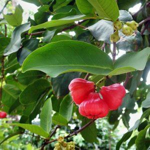 waxjambufruit
