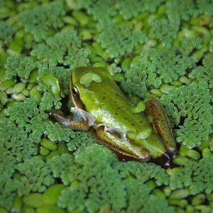little-frog-crop