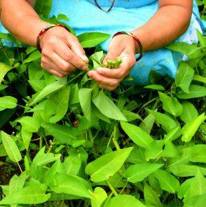 Kangkong - leafy greens