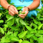 Leafy Greens alternatives to lettuce during hot summer months