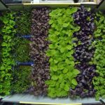 Growing microgreens at home